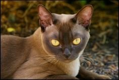 Amazing chocolate Burmese cat
