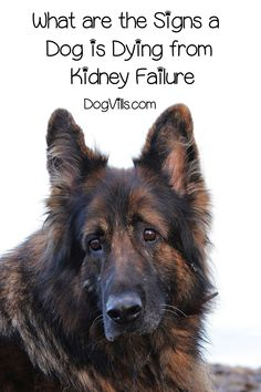Knowing these signs a dog is dying from from kidney failure could mean the difference between life and death for your pup. Pet Care Tips, Dog Care, Puppy Care, Signs Of Kidney Failure, Pet Health, Health Care, Health Tips, Dog Died, Dog Behavior