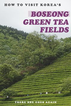 The Boseong Green Tea Fields in South Korea are one of the most beautiful places in the country! Check out this guide on how to visit the off the beaten path place on your own. #boseong #korea #southkorea #koreaoffthebeatenpath #jeollanamdo #greenteafields #outdoors #hiking