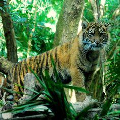 Baby Tiger - Melbourne Zoo - Melbourne - Avustralya  gunde1fotograf.com