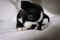 Boston Terrier puppy. Awww!