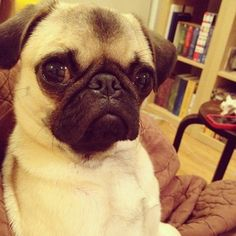 Little pug is judging you right now