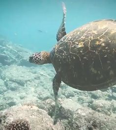 "#Repost @maestro320 ・・・ ""Fluid Motion""  Beautiful Slow Motion video of an endangered Hawaiian Green Sea Turtle courtesy of Hawaii-based Content Creator Uheheu @uheheu - Thank you to all the hard working productive people that make this country number one in GDP.  without you we wouldn't have the resources to enforce conservation efforts and endangered species like this Hawaiian green sea turtle might be extinct."