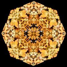 Succulent Starburst – a succulent sacred geometry  mandala kaleidoscope design by Melbe Creations.