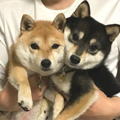 Cute Funny Animals, Cute Baby Animals, Smiling Animals, Shiba Inu Black, Japanese Dogs, Cute Dogs And Puppies, Shiba Inu Puppies, Akita Inu Puppy, Lab Puppies