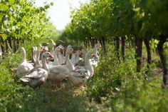 ¿Qué es el vino biodinámico? https://www.vinetur.com/posts/1994-que-es-el-vino-biodinamico.html