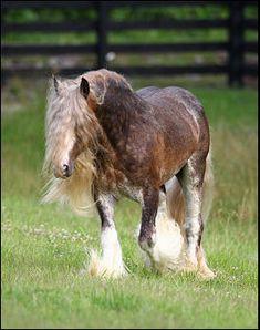 Bullet, Gypsy Cob stallion