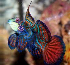 Exotic Mandarin Fish