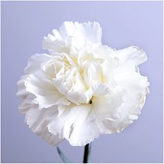 Package of 500 Seeds Grenadin White Carnation Dianthus caryophyllus NonGMO Seeds By Seed Needs ** Want to know more, click on the image.