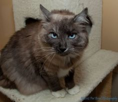 Scrabble is an adoptable Ragdoll Cat in San Francisco, CA. Scrabble is a sweet – (front) declawed – cat who was recently returned because his guardian's new baby was severely allergic. This boy is qui...