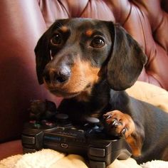Missing credit cards? Is your dog secretly ordering video games online? Posted by Kiwi on Crusoe the Celebrity Dachshund, via Everyone Loves a Dachshund