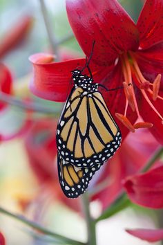 Monarch with Lily by Connie Etter