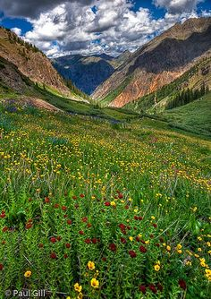 high alpine wildflowers, Stony Pass, Rio Grande National Forest, near SIlverton, Colorado