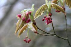 Acer palmatum bloei rood