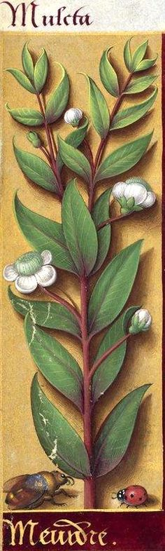 Meurdre - Muleta (Myrtus communis L. = myrte) -- Grandes Heures d'Anne de Bretagne, BNF, Ms Latin 9474, 1503-1508, f°15v