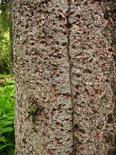 Pica-pau-de-coleira comendo no tronco do abeto vermelho. Parque Nacional Fulufjället,   província de Dalarna, Suécia.  Fotografia: Vilseskogen no Flickr.