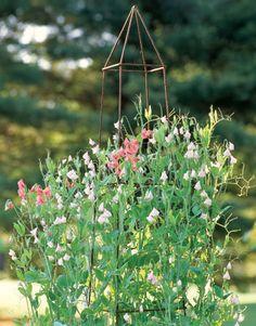 Sweet Pea Flowers - Growing Sweet Peas - Country Living