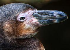 Beaker Beaker,Columbus Zoo,photo by Thomas Aleander