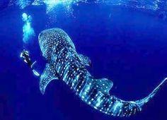 whale shark donsol sorsogon philippines
