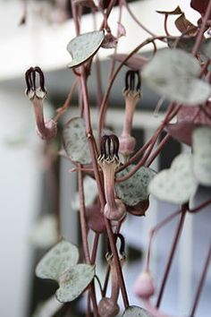 File:Ceropegia woodii leaves and flowers. Strange Flowers, Unusual Flowers, Rare Flowers, Amazing Flowers, Growing Succulents, Cacti And Succulents, Planting Flowers, Real Plants, Exotic Plants
