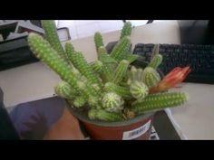 Kaktüs Bakımı ve Saksı Değişimi Nasıl Yapılır ? - YouTube Growing Flowers, Growing Plants, Cactus House Plants, Cactus Decor, Cactus Art, Cacti, Prickly Cactus, Barrel Cactus, How To Make Drinks