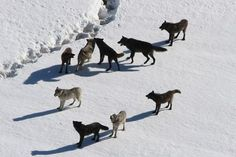 Yellowstone Gray Wolf Pack... Why are they so beautiful?!