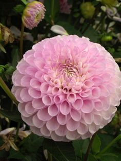 Dahlia 'Snoho Sonia' x 5 tubers Rare Flowers, Exotic Flowers, Amazing Flowers, Beautiful Flowers, Garden Bulbs, Garden Trees, Trees To Plant, Agaves, Pink Roses