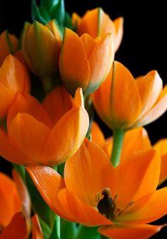 Orange Tulips Beautiful gorgeous pretty flowers