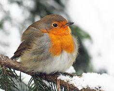 Punarinta, Robin (Erithacus rubecula) Red Robin, Robin Bird, Fat Bird, European Robin, Robin Redbreast, Watercolor Artwork, Bird Watching, Beautiful Birds, Bird Houses
