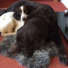 Another picture of Jen Burt's gorgeous dogs. This time we get to see Monty, and Raffi appear again snuggling up to him on the new sheepskin. It's great to see the fleeces are so popular with both your lovely dogs Jen! Thanks for the pics. Snuggles, Fans, Thankful, Popular, Animals, Animales, Animaux, Popular Pins, Animal