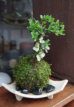 Moss ball longevity of plum
