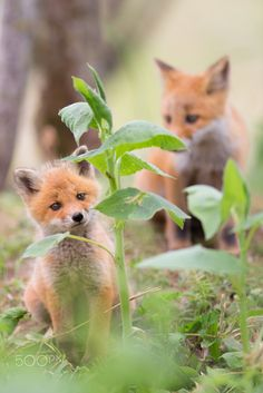 Red Fox Cubs by Sato Takahiro on Cute Baby Animals, Animals And Pets, Funny Animals, Animals Planet, Most Beautiful Animals, Beautiful Creatures, Fantastic Fox, Amazing, Cute Fox