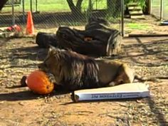 Lions and Cougars and Pumpkins, Oh My!