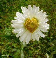 a daisy of love. Flora Flowers, Flowers For You, Sun Flowers, I Love Heart, Faith Hope Love, Daisy Chain, Golden Color, Love You More Than, Amor