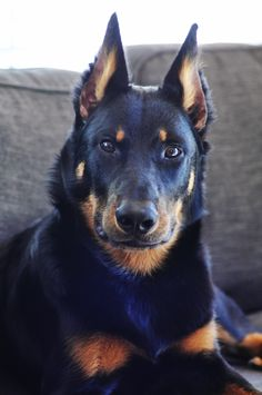 5 month old Beauceron, bas rouge, berger de beauce, french shepherd