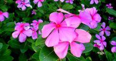 Manfaat Tapak Dara Untuk Kesehatan Dan Cara Mengolahnya -  Tanaman semak ini sering tumbuh liar tapi juga banyak dipelihara di halaman ruma... Plants, Plant, Planets