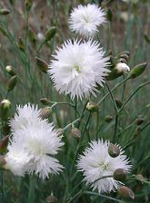 Dianthus Itsaul White