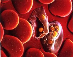 Human Biology (BIOL 1010): Plasmodium Infecting a Red Blood Cell... Caught on Tape!!