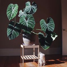 elephant ears and tropicals Finley Jordan ( - flower, flowers, floral, plants Green Plants, Potted Plants, Indoor Plants, House Plants Decor, Plant Decor, Planting Succulents, Planting Flowers, Plants Are Friends, Rare Plants