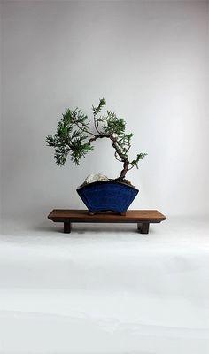 """Juniper Chinesis bonsai tree """"Winter Juniper Collection"""" by LiveBonsaiTree by LiveBonsaiTree on Etsy"""