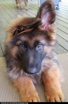 german shepherd - Google Search