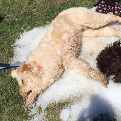 What better way to cool off on a hot day than to lay in a big pile of ice?!  #sillydoodle #doodlelove #doodlelove #doodletales #dogsofinstagram #goldendoodlesofinstagram #goldendoodle #bestwoof #ruffpost #clubdoodle #lacyandpaws #topdogphoto #excellent_dogs #buzzfeedanimals #photos4ellen #myoklahoma by alan_goldendoodle