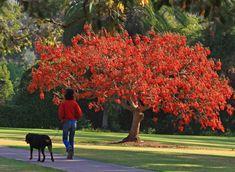 Eritrina – Erythrina variegata – Árvore tropical, de florescimento ornamental, e folhagem espetacular.