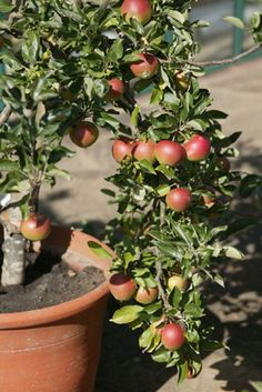 Container gardeners (and fruit lovers) rejoice! You don't need a big yard to grow delicious apples, plums or pears. With the right fruit, the right pot, the right compost and the right care, you can create your own little fruit orchard right on your balcony or terrace. - or if you have lots of black walnut trees in your yard!