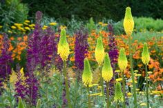 Garden Ideas, Border ideas, Perennial Planting, Perennial combination, Summer Borders, Kniphofia 'Bee's Lemon, Red Hot Pokers, Lobelia x speciosa, Lobelia speciosa 'Hadspen Purple', Helenium, Sneezeweed, Sahin's Early Flowerer