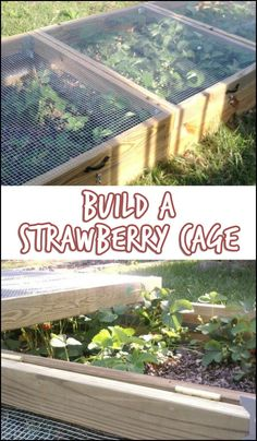 Want to grow your own strawberries but worry about the critters in your area that could get to them first? The solution is easy – make a strawberry cage! Is this going to be your next project?