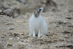 The Arctic hare eats mainly woody plants but also dine on buds, fruits ...