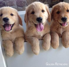 14 signs you are a crazy golden retriever person funny animals cute animals, Golden Retriever Mix, Retriever Puppy, Baby Golden Retrievers, I Love Dogs, Cute Dogs, Adorable Puppies, Funny Dogs, Cute Puppy Pics, Cute Animals Puppies