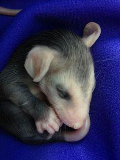Baby possum Forest Creatures, Cute Creatures, Beautiful Creatures, Animals Beautiful, Nocturnal Animals, Animals And Pets, Baby Animals, Cute Animals, Baby Opossum