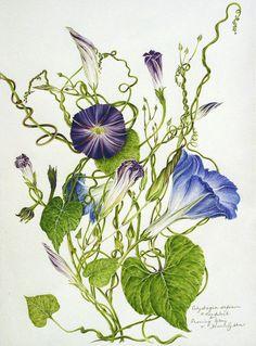 Ipomoea purpura and Convolvulus sepium